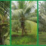 Coconut Plantation in Sri Lanka