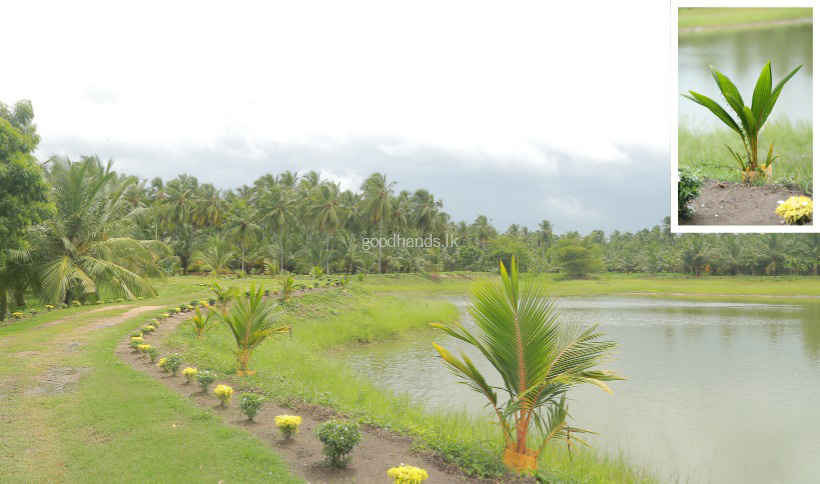 Conservation of Wetness In Coconut Plantation and Supply of Water